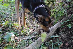 """Look, Mom. I found a stick! Doberman Shepherd, Boston Terrier, Mom, Pictures, Animals, Animais, Animales, Photos, Animaux"