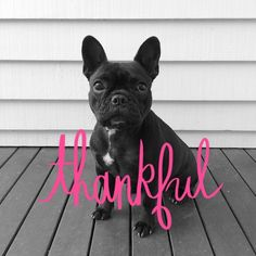 Be Thankful for your French Bulldog, they are gifts from Heaven.
