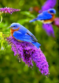 i just saw one of these when i was in missouri!! missouri blue bird!!