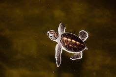 baby seaturtle.  Pinned in memory of my Florida Vaca., when I seen one right out of the shell.  :)