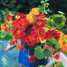 Nasturtiums are carefree creepers with a range of flower colors.    Dwarf kinds form loose mounds about 10 to 15 inches tall ― suitable for hanging baskets, patio containers, and low borders.