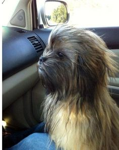 chewbacca dog...I can't tell if its real, but it's hilarious!
