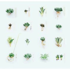 The ever talented @wachistudio showing a collection of Gasteria and Haworthia (although I might need a magnifying glass my eyes are going. Magnifying glass you ask? It's what we used before the zoom tool existed) by _concretejungles