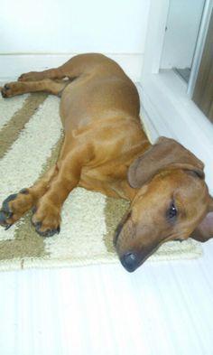 Cachorrinho Nico com quase quatro meses