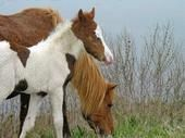 This mare and her foal - photo I took on Chincoteage.  Baby had blue eyes and his coat was still wet from his birth.  Amazing.
