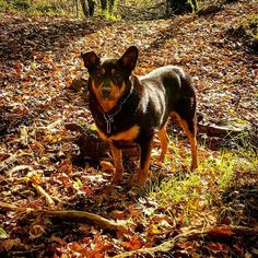 Paddy in his Autumn camouflage. #dogs #dogstagram #instadog #animals #pets #farmdog #farmlife #collie #autumn #fall #leaves #trees #walk #outdoors #nature #Devon #Dartmoor #woods #instagood #instadaily #picoftheday #beautiful #life #friends #happy #veterinary #vetlife #veterinarian #vetschool