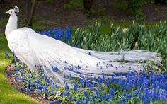 The white peacock (or white peafowl) is a color variety of the Indian Blue Peacock. Description from pinterest.com. I searched for this on bing.com/images