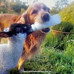 Just a smart dog feeding a baby sheep 우리카지노 (→RPET7.COM ←) 우리카지노우리카지노우리카지노 Love My Dog, Baby Animals, Funny Animals, Cute Animals, Wild Animals, Cute Funny Babies, Cute Dogs, Such Und Find, Unlikely Friends
