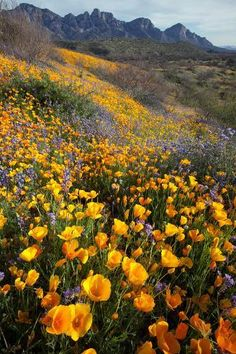 Photographic Print: Mexican Poppies and Lupine Bloom in Catalina Sp, Tucson, Arizona by Susan Degginger : Nature Aesthetic, Flower Aesthetic, Beautiful World, Beautiful Places, Beautiful Flowers, Exotic Flowers, Purple Flowers, Mellow Yellow, Pretty Pictures