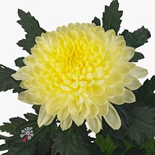 Chrysanthemum Blooms Salma Cream are a buttermilk cream disbudded, single headed cut flower variety. 70cm tall & wholesaled in 10 stem wraps.