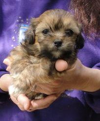 My puppy's adoption pic. Barks R Us animal shelter. ShiChi (shih tzu chihuahua)