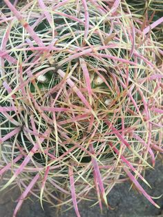 Cactus Cactus, Herbs, Texture, Plants, Prickly Pear Cactus, Surface Finish, Herb, Flora, Plant