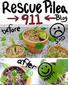 Pilea Rescue 911 Is Your Pilea Peperomioides Sad and Dying? Figure out How-To Revive And Rescue With This 4 Step Easy Guide Don't Give Up Hope. Outdoor Plants, Garden Plants, Household Plants, Chinese Money Plant, House Plant Care, Succulent Care, Different Plants, Garden Care, Plant Needs