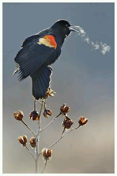 "a red-winged black bird on a cold winter day "" to catch a bird's breath is brilliant "" Pretty Birds, Love Birds, Beautiful Birds, Animals Beautiful, Cute Animals, Foto Nature, Red Wing Blackbird, Tier Fotos, Mundo Animal"