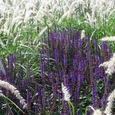 Salvia nemorosa 'Caradonna' - Steppen-Salbei  EUR 3,50    Blütenfarbe:infodunkelviolett Blütezeit:infoVI + IX Höhe:info40 cm - 60 cm Sichtungsergebnis:infosehr gut **  Lebensbereich:infoFr/B1-2 so Winterhärtezone:infoZ5 Pflanzabstand: 35 cm; 8 St./m² Geselligkeit:infoII Remontierend: ja Schnittpflanze: ja Insektenweide: ja Bienenweide: ja