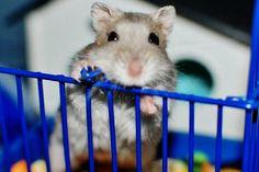 Djungarian Dwarf Hamster.