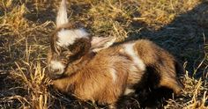 Nigerian Dwarf Goats Kidding Process | Summers Acres
