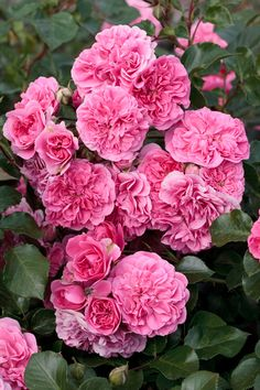 Rose 'Quatre Saisons' A new Meilland hybrid with an old name!- Haven't seen it in person yet- hope it smells good.