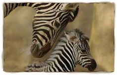 Image result for images of zebras