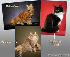 Comparing Maine Coon, Norwgian Forest and Siberian Cats