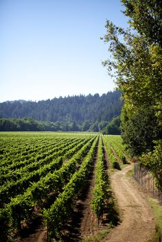sonoma valley. Hope to walk vineyards like this with Meg on vacation