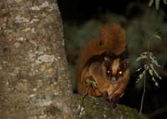 Hodgson's Giant Flying Squirrel