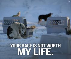 The Iditarod Race is cruel and dangerous to sled dogs....sign petition to stop these races once and for all!