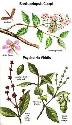 Banisteriopsis caapi - Google Search