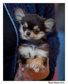 Chihuahua pupp #chihuahua puppy