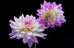 Victoria Ann dahlias from our garden, Fall 2015.  I love when other photographers photo flowers against a black backdrop. I'm not sure I like this image, bleh... but I thought... what the heck, I'll post it anyway and see what you guys think.  Good Flickr friend Don Briggs  and I grow dahlias are are in a friendly competition to photograph and post our lovelies here on Flickr! Please check out Don's fabulous photography!  Please comment below if you would like me to take a peek at...