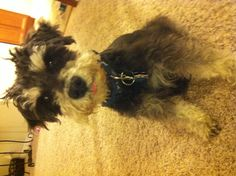 """My board title is, """"Can't live without a schnauzer"""" and Spencer is that schnauzer."""