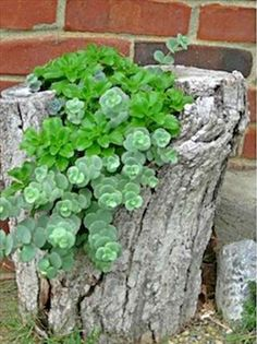 Tree stump planted with succulents.