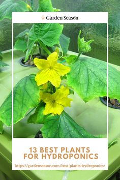 Best Plants for Hydroponics: Cucumber | Cucumbers prosper well in a hydroponic setup. And just like tomatoes, they need a lot of light. If you're growing hydroponic cucumbers, be sure to put a large trellis for cucumber vines. However, not all growers enjoy hydroponic cucumbers because they need a bigger space to grow. But this shouldn't be a problem anymore, because you can opt to grow them in patches like that of traditional gardening.