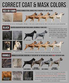 Cane Corso growth chart Cane corso puppies, Cane corso