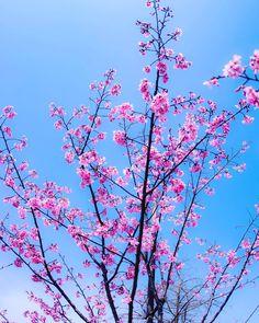 #cherryblossom  #flower #flowers #ig_flowers #superb_flowers #FlowerStalking #wp_flower #floral_splash #igscflowers #桜