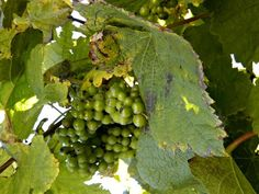 Txakoli: Spain's Refreshing, Effervescent, Hard-to-Pronounce Wine