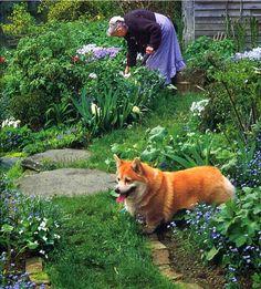Corgi helping in the garden