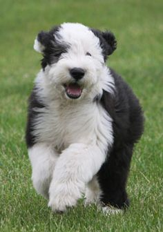Old English sheepdog puppies are adorable!