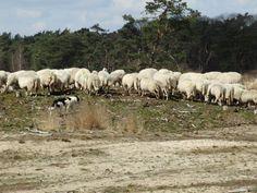 Het hoeden van de schapen.