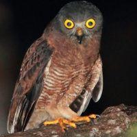 Halmahera Boobook Owl Image 1
