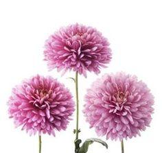 dahlia lavender (year round)