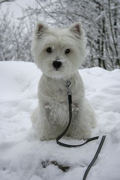 Westies are one of my fav dog breeds Westies, Westie Dog, Terriers, Terrier Mix, Cute Puppies, Dogs And Puppies, Pet Dogs, Dog Cat, Doggies