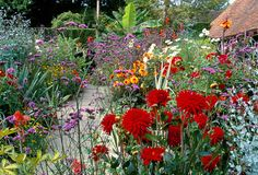 80829 - 11 Vibrant colour in Christopher Lloyd's exotic garden at Great Dixter. Dahlia 'Wittemans Superba' and Verbena bonariensis in the foreground
