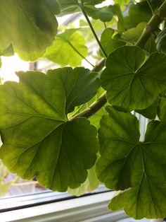 Geranium leaf, Mårbacka Pelargon