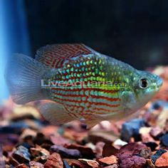 aquarium fish that live well in summer ponds in ponds