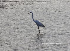 A large egret in the Sewri backwaters