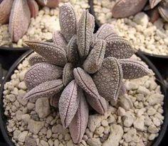 Peperomia hutchisonii