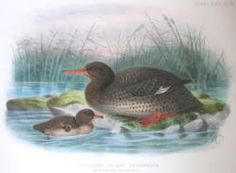 The Auckland Merganser or Auckland Islands Merganser (Mergus australis) was a typical merganser which is now extinct. It was last sighted in Auckland, Extinct Birds, Extinct Animals, Living Fossil, Big Animals, Nature Prints, Art Nature, Modern History, Prehistoric