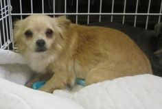 Hilda is an adoptable Chihuahua Dog in Oak Ridge, NJ. Hilda is an adorable tiny ~9 month old longhair chihuahua rescued from an owner who kept her and 19 other chihuahuas in a pen outside!  She is a l...