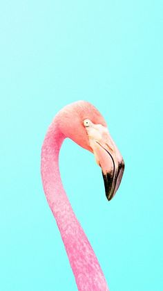 color | pink flamingo + blue